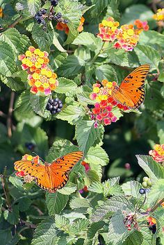 Lantana and butterflies