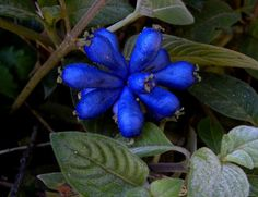 Fruta de Corocochó Coccocypselum lanceolatum Helton Josué Teodoro Muniz, Campina do Monte Alegre, Brazil