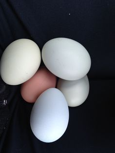 New Easter Eggers Americana and Rhode Island Red our little chicken nuggets