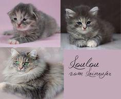 Deutsch Langhaar Katze Siberian Cat, Cats, Animals, Cat Races, Long Hair, Gatos, Animales, Animaux, Animal