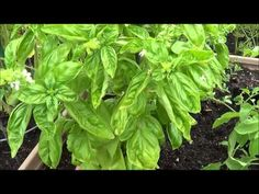 How to prune basil. Harvesting basil (thinning, pruning) - YouTube