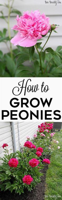 GREAT tips on how to grow peonies! http://twotwentyone.net/growing-peonies/ #FlowerGarden
