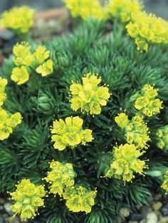 79 best yellow n gold flowers and plants images on pinterest flowers and plants for rock gardens rock garden plants hgtv gardens mightylinksfo