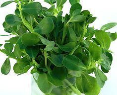 """Purslane (verdolaga in Mexico, pourpier in France, bakleh in Lebanese) is a wonderful green that is extremely popular in Lebanon and throughout the Levant. It grows in any vegetable garden like a ground cover. It is according to Paula Wolfert, """"incredibly nutritious"""" and """"rich in Omega-3 fatty acids"""" (more than some fish oils). Apparently it grows everywhere in America, yet it is nowhere to be found in mainstream supermarkets."""
