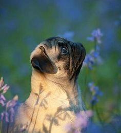 thoughtful pug