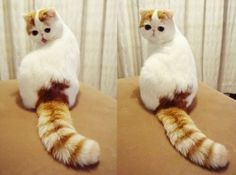 Not Found | Exotic, Cats and Scottish Fold