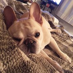 Walter the French Bulldog @thedailywalter on instagram