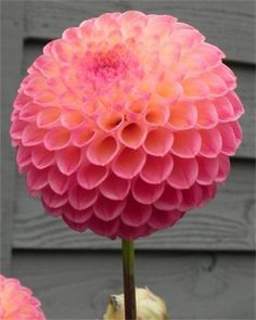 The most perfect Dahlia. Pink and Orange in graduating petals. Yarn Color Combinations, Hydrangea Landscaping, Garden Catalogs, Dream Garden, Garden Inspiration, Color Inspiration, Planting Flowers, Beautiful Flowers, Elegant Flowers