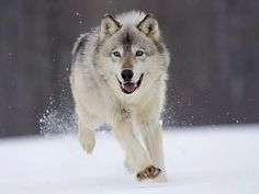 The Gray wolf (Canis Lupus), lives in the Northern Parts of the world. Description from arizonahybridassociation.com. I searched for this on bing.com/images