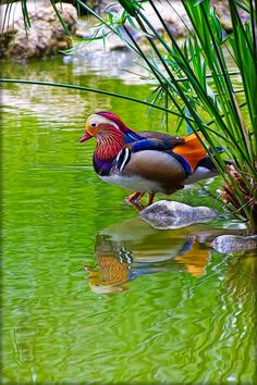 Mandarin Duck just colourful