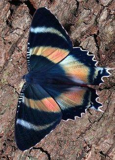 Butterfly Wallpaper, Butterfly Flowers, Butterfly Wings, Beautiful Bugs, Beautiful Butterflies, Amazing Nature, Beautiful Creatures, Animals Beautiful, Butterfly Species