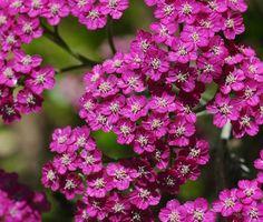 Yarrow, Cerise Queen Yarrow Seeds | Easy to Grow Achillea Plants Produce Gorgeous Cherry Pink Flowers in Abundance