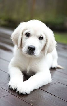 Golden Retriever puppy- could not be cuter!