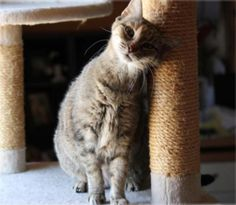 My name is Sameen and I am definitely a cat of interest! I'm a tiny but very confident kitty who can fit right into any home. I've become friends with the other cats in my foster home and they're all rooting for me to find a forever family! I don't know if I've ever met a dog before so I'm not sure what I think of them. I like to talk sometimes but just to tell you how happy I am. I definitely have feelings... I feel happy and loving and very grateful that Texas CARES took me in. Please ask…