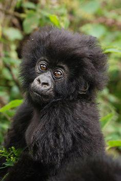Adorable Baby Mountain Gorilla in Uganda's Bwindi Impenetrable Forestby #wildographer Tim Henshall of Kamili