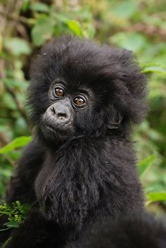 Adorable Baby Mountain Gorilla in Uganda's Bwindi Impenetrable Forestby #wildographer Tim Henshall of Kamili