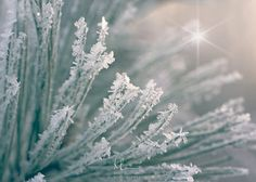 Frost+on+Pines+Texture-2.jpg (500×357)