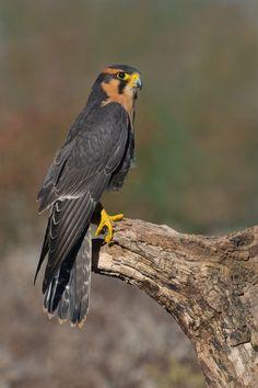 Falco femoralis - sokół rdzawobrewy - Aplomado Falcon