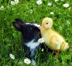 Awwwww !! This cute little bunny and duckling kissing each other & planning to go outside. True friends forever !! :) Baby Ducks, Baby Bunnies, Cute Bunny, Easter Bunny, Beautiful Creatures, Animals Beautiful, Animals And Pets, Funny Animals, Funny Duck