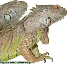 Understanding Iguanas