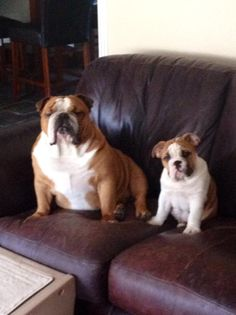 """❤  Tonka has insight to share: """"Hey mr burglar, next time you see a doggie door that is XXL and big enough for you to TRY to get thru @3 am you might want to think that the door isn't for a chihuahua, IDIOT!  SAY HELLO TO MY LIL FRIEND!"""" ❤  Posted on English Bulldog News on Facebook  **Good JOB TONKA!!**"""