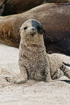 "I love how composed this baby sea lion is, just contentedly sitting there (mostly) covered with sand. ""Galapagos Sea Lion"" by Ink Light Animals And Pets, Baby Animals, Funny Animals, Cute Animals, Cute Creatures, Beautiful Creatures, Animals Beautiful, Photo Animaliere, Tier Fotos"
