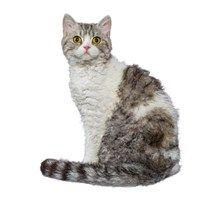 Selkirk Rex Cat Breeds - Purina®
