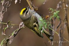 Photo Gallery :: Birds of the Northeast US :: 154 golden-crowned Kinglet