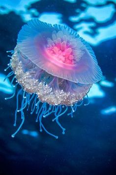 Eine Qualle im Roten Meer. A jellyfish in the Red Sea. I should split off a jellyfish board. Underwater Creatures, Underwater Life, Ocean Creatures, Underwater Swimming, Beautiful Sea Creatures, Animals Beautiful, Animal Kingdom, Fauna Marina, Beautiful Fish