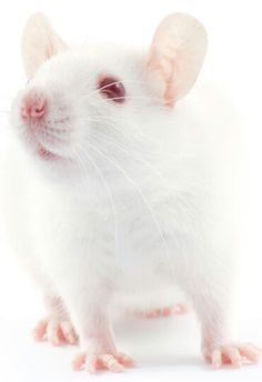 Cute Lab Mice | www.pixshark.com - Images Galleries With A ...
