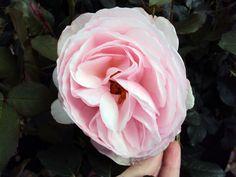 Englische Rose Heritage ® Ausblush ® Züchter David Austin 1984