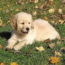 mini labradoodle !!!!!!! i dont even like dogs but look at this face! :(