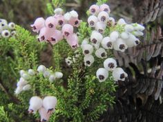 Erica pubescens