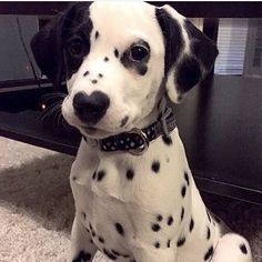 Dogs are the most favorite pets in the world. There are so many people are asume that dogs are part of their family. Here are Cutest Dog Breeds in the World. Cute Dogs Breeds, Cute Dogs And Puppies, Baby Dogs, I Love Dogs, Dalmatian Puppies, Doggies, 15 Dogs, Samoyed Dog, Havanese Puppies