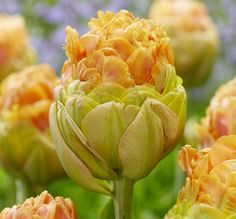 Tulip Giant Peach™ has giant, artichoke-like double flowers and her beautiful peach colors will adorn your garden like never before. This variety is famous for its delightful fragrance.