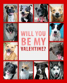 For this Valentine's Day, are you looking for someone who is loyal? Forgiving? Always there when you need them? Full of hugs and kisses? Then a Sutherland Shire Council Animal Shelter pooch might be perfect for you! These beautiful four legged friends are looking for someone to love them forever. #adoptdontshop
