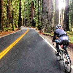 Giant Redwoods-->