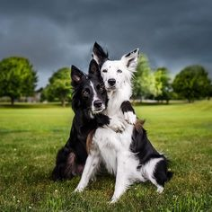 Border Collie Love by Kelly Bove