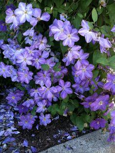 Deep Purple Clematis 3 by NRodovsky