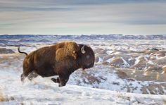 The Bison...the Buffalo...Thunder in Winter.
