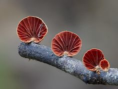 Now they're magic mushrooms! Amazing images reveal alien-like toadstools and glow-in-the-dark fungi lighting up forests Art Et Nature, All Nature, Science And Nature, Nature Pics, Wild Mushrooms, Stuffed Mushrooms, Belle Plante, Slime Mould, Mushroom Fungi