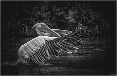 https://flic.kr/p/wRPvkP | The Pelican B/W | Pellicano Riccio // Pelecanus Crispus La natura è qualcosa che non puoi comprendere finché non la vedi da vicino. Nature is something you can't understand until you see it up close. ---------------------------------------------------------------------------------------------- Please don't use this image without my explicit permission. © All rights reserved Christian P.
