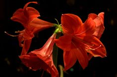Amaryllis: but what is it, really?