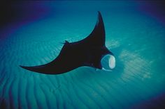 When my mom was a little girl, she would go fishing with my great-grandpa way out from shore in a little metal boat. She told me of a couple different times she went with him that a manta ray came up underneath their boat and you could see its wings on either side of the boat. She said it is a truly majestic creature to see.