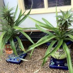 Mini pineapple plants for the patio! Pineapple Planting, Patio, Spaces, Mini, Plants, Plant, Planets, Terrace