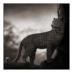 Leopard In Crook Of Tree, Lake Nakuru 2007 Nick Brandt Nick Brandt, Insect Photography, Wildlife Photography, Animal Photography, Infrared Photography, Ocelot, Animals Black And White, Black White, Mundo Animal