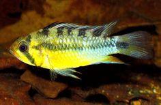 Saltwater Aquarium Fish, Tropical Aquarium, Planted Aquarium, Tropical Fish, South American Cichlids, Cool Fish Tanks, Home Aquarium, All Fish, Beautiful Fish