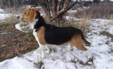 Pin By Lisa S Garage On Dogs Beagle Dogs Animals