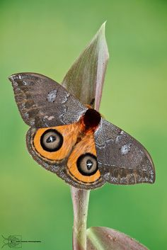 gray & golden eye moth | Flickr - Photo Sharing!