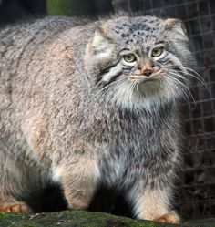 This is the pallas cat because in the war against the Titans Athena killed one of her good friends pallas on accident and now is often called pallas Athena Big Cats, Crazy Cats, Cool Cats, Beautiful Cats, Animals Beautiful, Cute Animals, Felis Manul, Wild Cat Species, Pallas's Cat